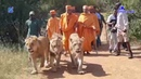 भारत के साधु के साथ अफ्रीकन बाघ African TIGER with the MONK of India Swaminarayan Sampraday