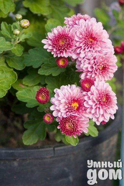 Комнатная хризантема в горшке Цветущие кустарники хризантем самой разнообразной окраски можно купить в магазинах круглый год. Но чтобы они радовали вас цветами как можно дольше, выбирайте растения с несколькими распустившимися цветками и набухшими бутонами, у которых уже видны лепестки. Такой кустик будет цвести у вас дома до восьми недель, если вы создадите для него соответствующие условия. Хризантема любит прохладу. На жаре она быстро отцветает. Выбирайте солнечное окно. При недостатке света…