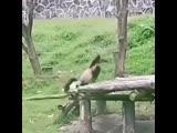 Неуклюжесть панд