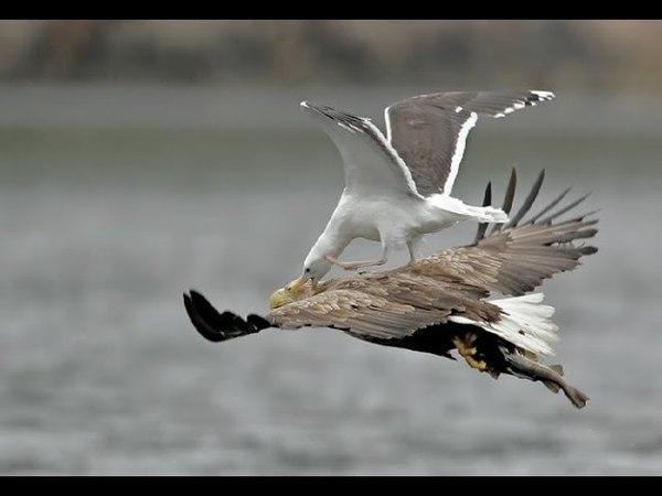 Most of the attacks Largest Eagle vs Bird - Birds of prey performance skills Acrobatic Wonderful