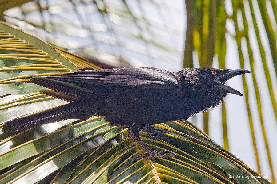 птицы Доминиканы,