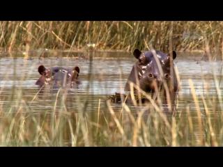 «Стив Бэкшалл: Заплыв с чудовищами (2). Бегемоты» (Познавательный, природа, животные, 2012)