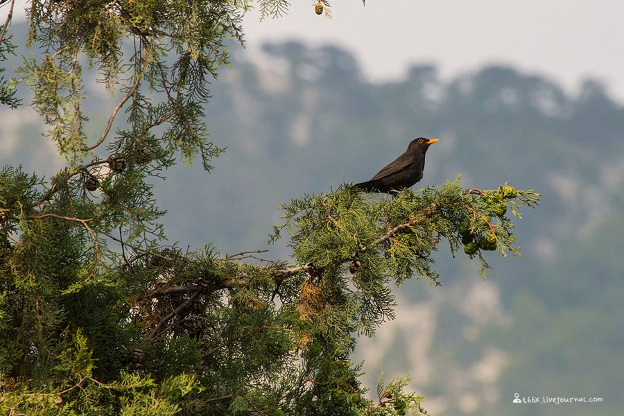 птицы Турции, чёрный дрозд, Turdus merula