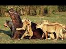 Необычная жизнь животных Дикость в чистом виде