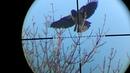 охота на сорок ворон ч18 crow hunting magpie , pcp pistol p18