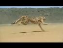 Вечно можно смотреть на воду огонь и бегущего гепарда