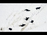 US South Dakota Blizzard 100,000 Cattle Killed!! Most Costly In Histroy!!