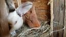 Рождение крольчат.