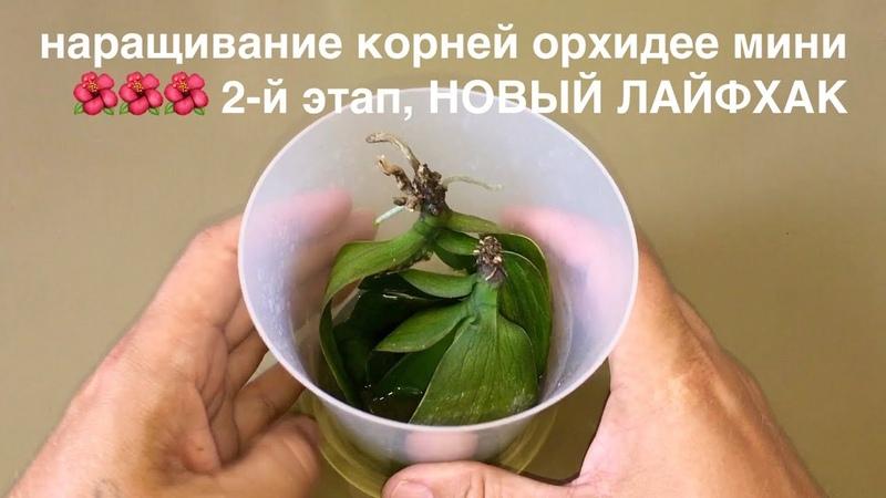 наращивание корней орхидее мини 🌺🌺🌺 2 й этап НОВЫЙ ЛАЙФХАК