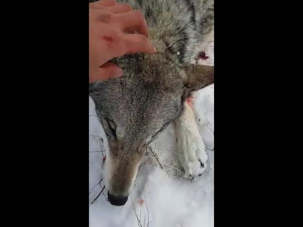 Казахстанский охотник ест сырое сердце волка