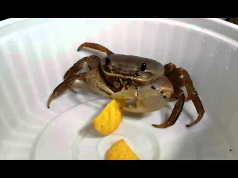 Pet crab eating chips
