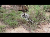 Brave_Man_Rescues_Crocodile_From_Giant_Python_Attack_And_Saved_Both_Lives_(MosCatalogue.net)