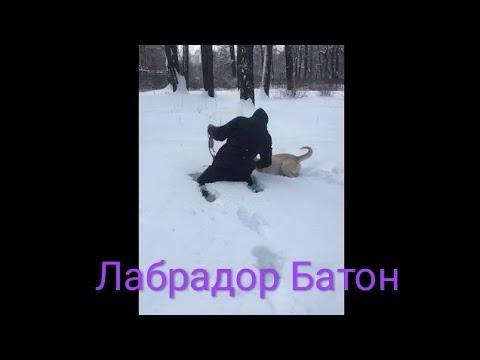 Мой друг Батон Labrador Buton