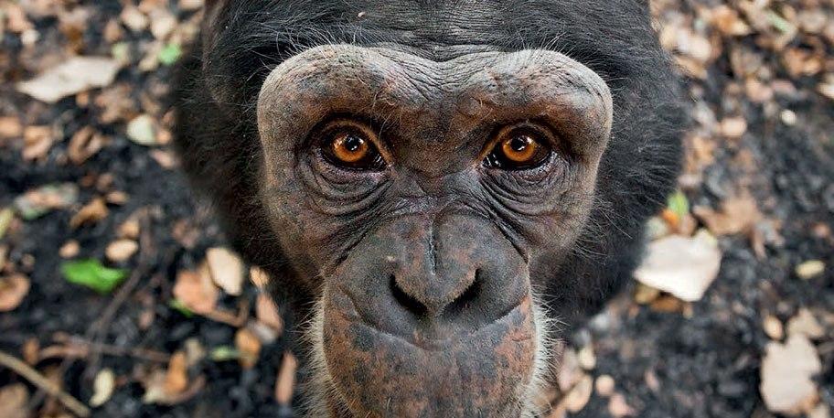 (Дикая парковая обезьяна) Фото: Давид Грейо