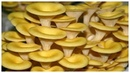 Выращивание грибов дома