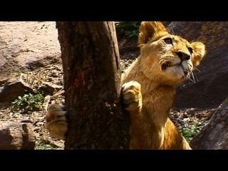 Львиный прайд безуспешно пытается добыть бабуина