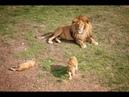 Семейный прайд. Парк львов Тайган.