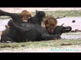 Охота льва на слона LIONS Kill a Elephant