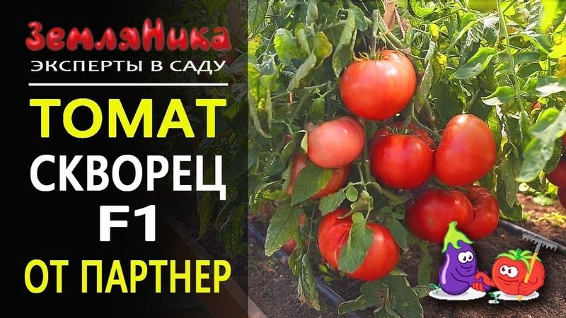 Крупноплодный томат Скворец F1. Семена партнер.