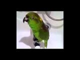 Попугай Микеша поет песни под душем
