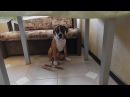 Немецкий Боксер щенок безобразничает