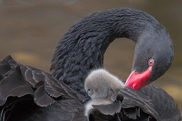 Необычайная красота чёрного лебедя.