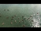 Как прелестно увидеть их в живой природе в самом центре города, резвятся, гребут своими красноватыми лапками:)) Казанские уточки