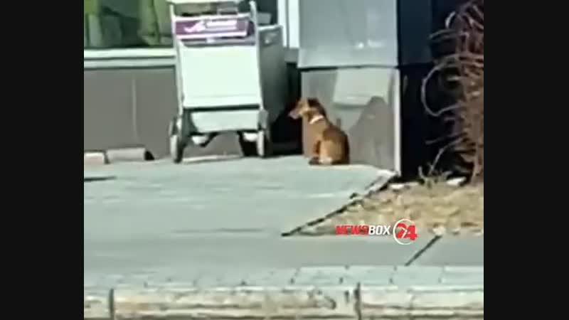 Собаку не приняли на борт самолета, хозяин улетел, а таксу бросил в аэропорту во Владивостоке на произвол судьбы: