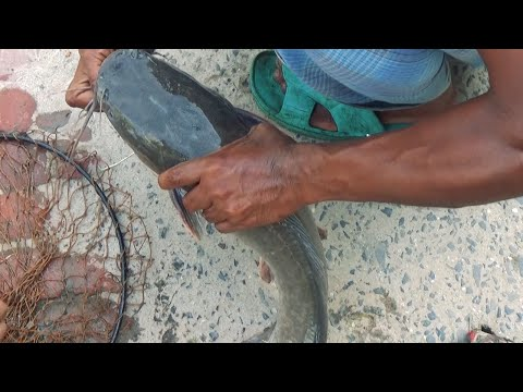 Best Walking Catfish Fishing Videos By Using Rod And Reel