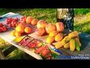 Сезон помидора 2018г/ Мой отзыв о урожайности 11 сортов и 1 гибрида/ урожай томаты огород tomato