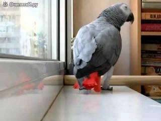 Смотреть - Попугай поёт песню Анни Лорак