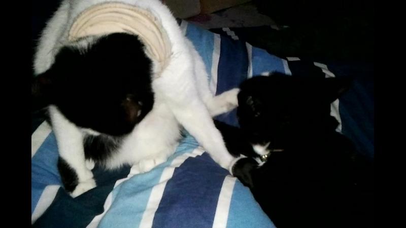 Идиллия котов. Масик и Босик