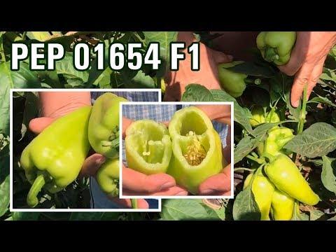 PEP 01654 F1 - Идеальный болгарский перец для рынка и транспортировки (26-07-2018)