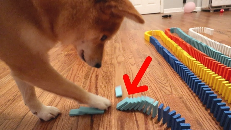 DOG KNOCKS DOWN 1,000 DOMINOES!