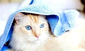 Как правильно помыть кошку, мытье кошки в домашних условиях