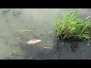 Берега озера Нижнее в Людинове усеяны дохлой рыбой