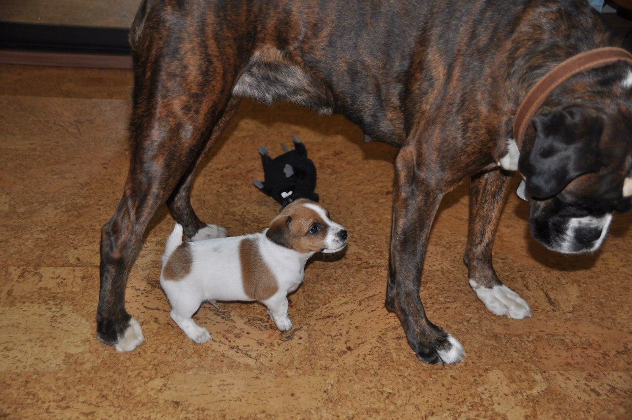 знакомить взрослую собаку со щенком
