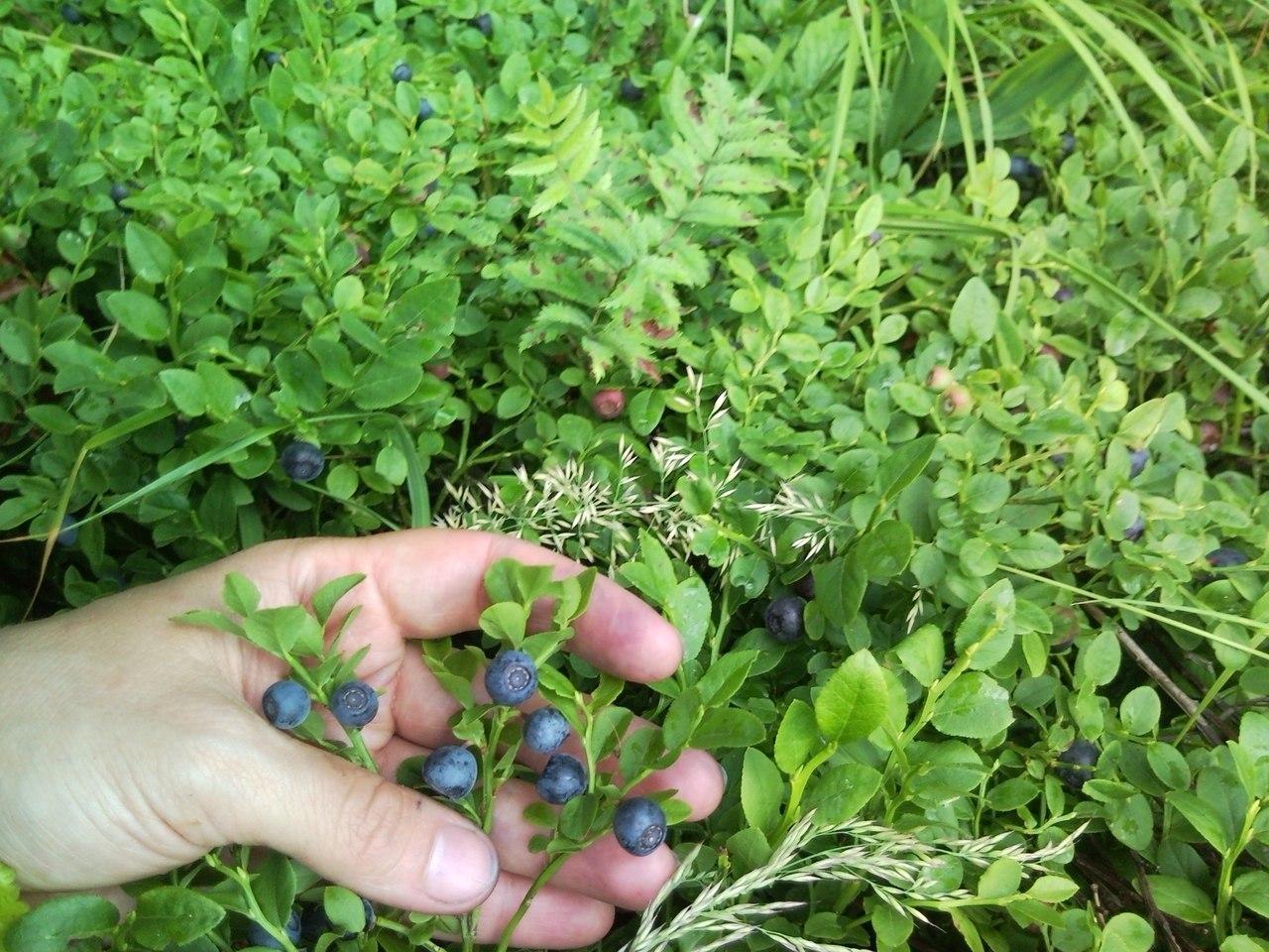 Условия для выращивания черники 21
