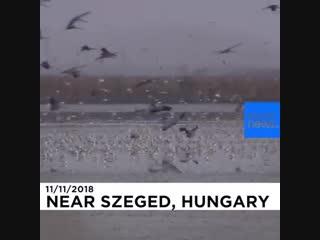 Десятки тысяч аистов заполонили Венгрию