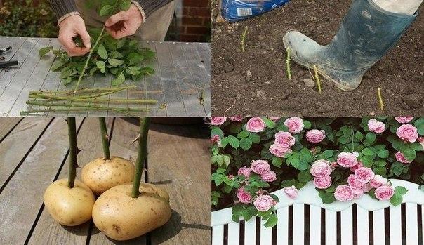 Маленький секрет от садоводов: черенки срезанных роз нужно обрезать, поместить в картофелины и в таком виде закопать на 7-9 см. в землю. Картофелины сохранят стебель влажным и помогут цветку быстро пустить корни. Это простой и бюджетный способ завести свой собственный розовый сад, которым вы сможете наслаждаться каждый раз!