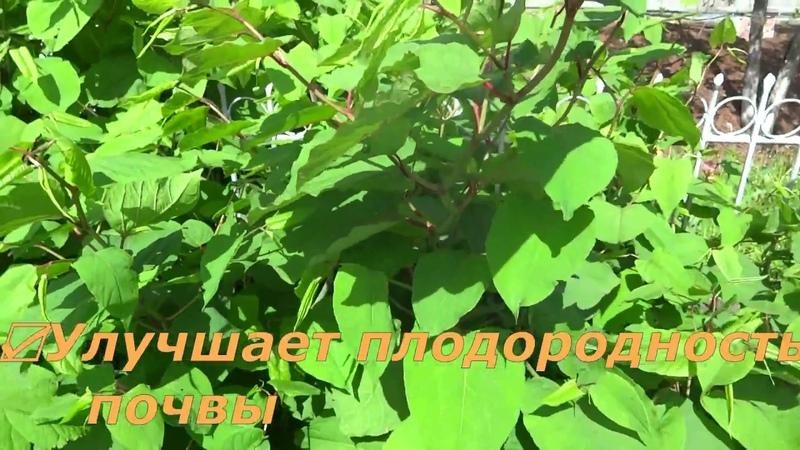 ЖИВАЯ ИЗГОРОДЬ ЗЕЛЁНАЯ МЕЖА Рейнутрия сахалинская Сибирский бамбук или Горец сахалинский