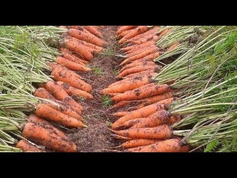 Что точно нужно знать, чтобы вырастить урожайную морковь