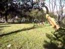 Чемпион мира по собачьим боям