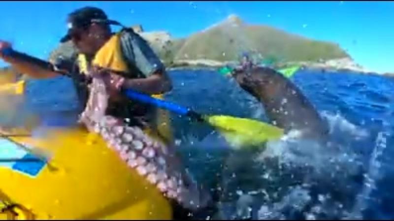 Тюлень бросает в каякера осьминогом