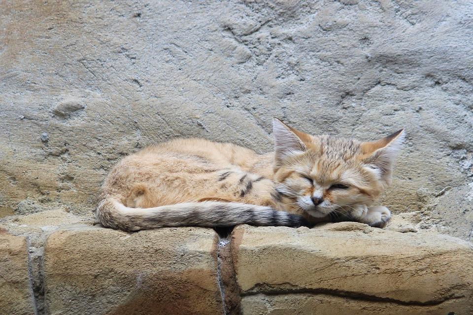 Барханный кот. Где обитает. Образ жизни