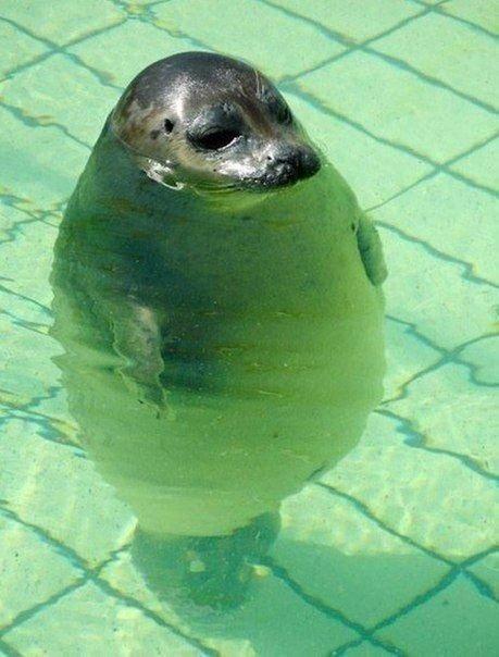 Тюлень-поплавок