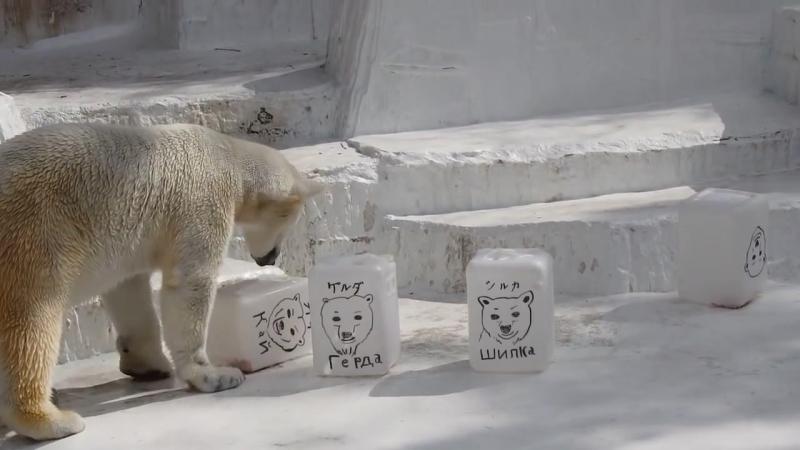 ロシアの皆さんへのメッセージ&似顔絵が出現したイッちゃん Шилка のおやつタイム 2017 03 17 天王寺動物園のホッキョクグマ