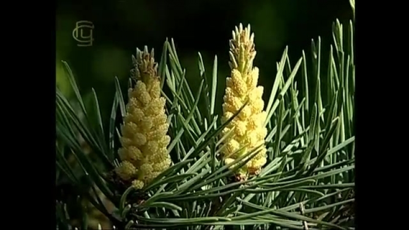 Систематика растений.Отдел Голосеменные