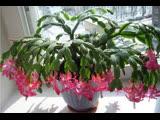 Красиво цветущее растение Шлюмбергера (Зигокактус), или Декабрист ''СеЧжуа Лянь'' (краба-когтя лотос), или ''СеЧжуа Лань'' (краб