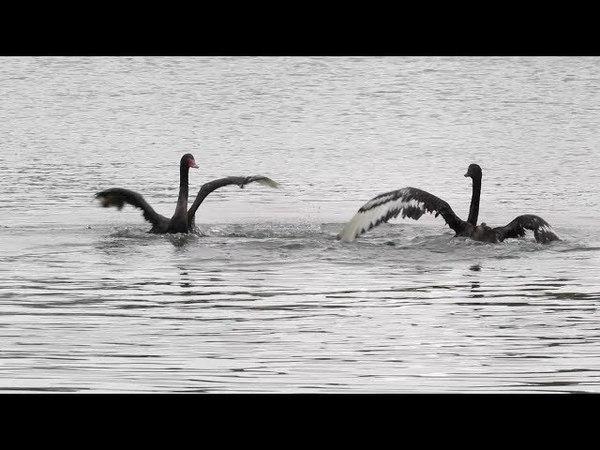 В Казани на Черном озере поселились Зигфрид и Одиллия